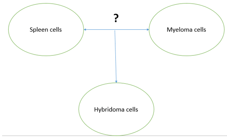 pharmaceutical-biotechnology-questions-answers-development-hybridoma-monoclonal-antibodies-mabs-2-q3