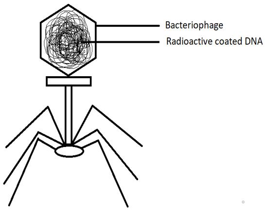 Radioactive DNA diagram