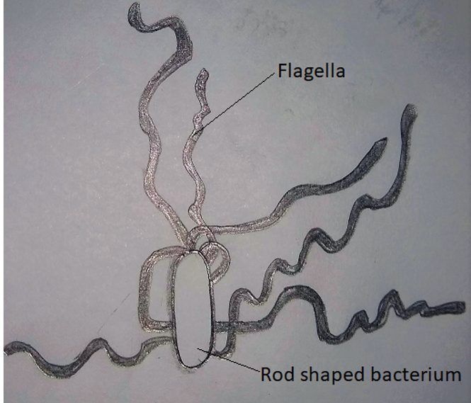 Magnified image of a bacterium diagram
