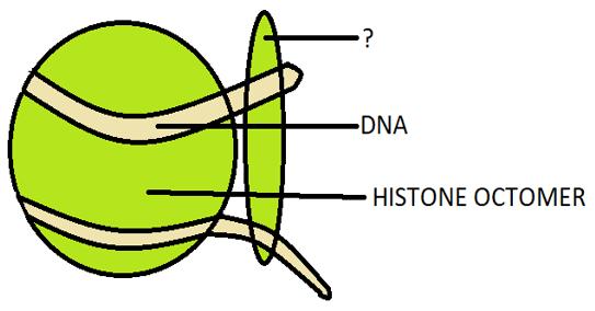 H1 histones diagram