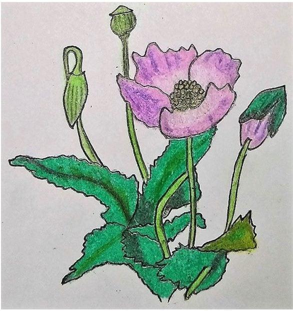 Opium Poppy diagram